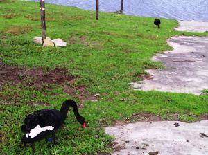 Fekete hattyúk